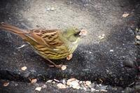 アオジ - 鳥撮り取り鶏トリSTORY