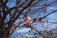 小樽桜めぐり2017#1  水天宮 - ainosatoブログ02