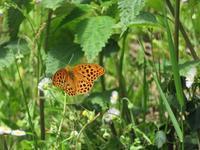 クモガタヒョウモン初見 - 秩父の蝶