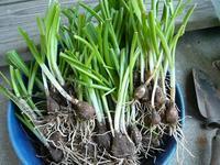 水仙の堀り上げと野菜苗の植え付け - natural garden~       shueの庭いじりと日々の覚書き
