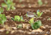 畑で会えた鳥達♪ - ケンケン&ミントの鳥撮りLifeⅡ