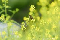 菜の花とセッカ - おおやのデジスコ散歩道