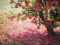 木瓜の花 - 心の色~光生写真館~