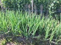食材を収穫にいってきました - 吉野山 吉野荘湯川屋 あたたかみのある宿 館主が語る