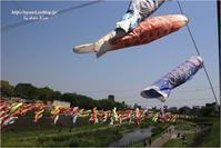 大空に泳ぐ鯉のぼり(摂津大正川河川敷) - 4にゃん日記+
