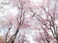 お花見 - Foretoile~フォレトワール~ アトリエと日々のこと