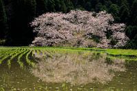 奈良の桜2017 牛繋ぎの桜(諸木野) - 花景色-K.W.C. PhotoBlog