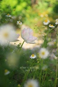 カモミール* も咲き出して (庭Chipo* 5月2日・4日) - FUNKY'S BLUE SKY