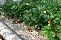 イチゴ、トウモロコシ、ウド - HANA 花♪日記