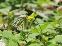 スジグロシロチョウとウスバシロチョウ - 蝶超天国