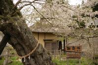 1145 遠野の桜 2017 (2) - 四季彩空間遠野