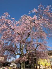 5月2日*軽井沢の桜 まだまだお花見が楽しめますよ♡ - ぴきょログ~軽井沢でぐーたら生活~