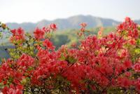 石楯山のツツジ - いぐさん流 山と花の写真(富士山)