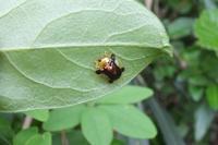■ ジンガサハムシとアカガネサルハムシ   17.5.4 - 舞岡公園の自然2