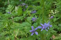 ■ 種子を撒かないで!   17.5.9   (セリバヒエンソウ、ナガミヒナゲシ、ショカッサイ) - 舞岡公園の自然2