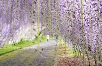 藤のトンネル - 花々の記憶