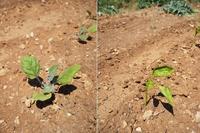 我が家の菜園日記 no.18 夏野菜の苗を植えました&冬の名残 - La Tavola Siciliana  ~美味しい&幸せなシチリアの食卓~