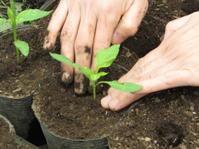 夏野菜の仮植 パプリカ - 南阿蘇 手づくり農園 菜の風