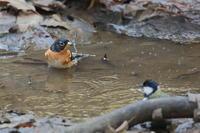 冬鳥、漂鳥、留鳥が混在する水場 - 上州自然散策2