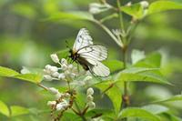 ウスバシロチョウ    ウツギの花に誘われて - 蝶のいる風景blog