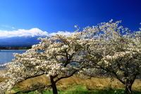 29年4月の富士(40) 桜と富士  - 富士への散歩道 ~撮影記~