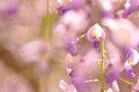 横須賀しょうぶ園の藤 - 想い出
