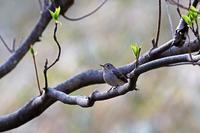 丸くつぶらな目の:コサメビタキ - 武蔵野の野鳥