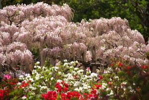 足利フラワーパークの藤の花2 - 写真とパピオン大好き3