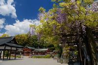 初夏の花めぐり 藤@春日神社 - デジタルな鍛冶屋の写真歩記