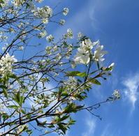 ジューンベリーと八重桜 - ユリ 百合 ゆり 魚沼農場の日々