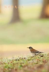 シロハラ - 北の野鳥たち