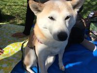 今年のゴールデンウィークの過ごし方 - 柴犬さくら、北国に生きる