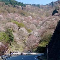 続・吉野桜の「一目千本」・・・その二 - 続・感性の時代屋