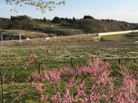 桜が散ったら梨の花。 - 風景ノート。