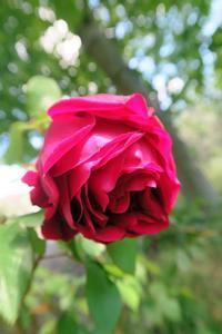 バラがきれいに咲いています、ペルージャ - ペルージャ イタリア語・日本語教師 なおこのブログ - Fotoblog da Perugia