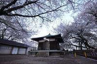 東光寺 石戸蒲桜 - photograph3