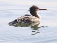 ウミアイサ♀ - 四季の探鳥