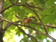 足環のモズ - 西多摩探鳥散歩