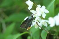 ヒメウツギに飛来したアオバセセリ(神奈川県、20170505) - Butterfly & Dragonfly