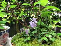 タツナミソウ きらきら☆ - リリ子の一坪ガーデン