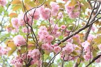近所の里桜とツツジ♪ - happy-cafe*vol.2