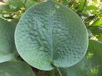 ハート型の葉っぱいろいろ - アオモジノキモチ
