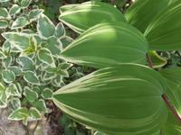 斑入りの葉っぱ - アオモジノキモチ