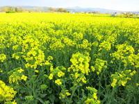 GW・5月4日 * 佐久の菜の花畑が見頃ですよ~♡ - ぴきょログ~軽井沢でぐーたら生活~