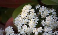 ベニカナメの花って、可愛いんやね。 - 万願寺通信