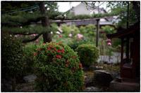 牡丹の寺-4 - Hare's Photolog