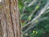 ミソサザイ - 自然を楽しむ