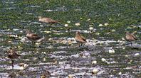 干潟にチュウシャクシギ - ずっこけ鳥撮り日記