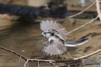 水場のエナガ - 上州自然散策2