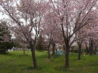 モエレ沼公園の桜ほか - 今日の鳥さんⅡ
